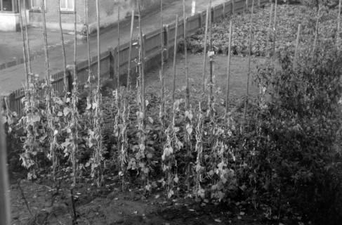 ARH NL Dierssen 0202/0005, Weinernte (Ingrid Jakobi), 1949