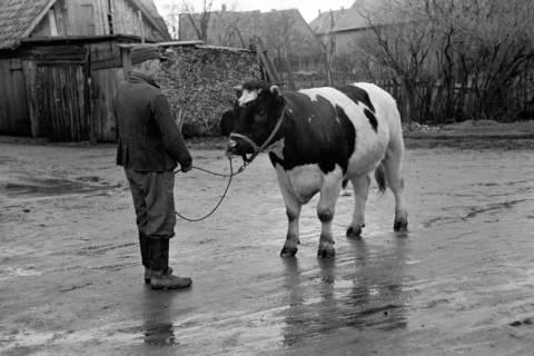 ARH NL Dierssen 1006/0001, Zuchtbulle (Landwirt Woltmann), 1950