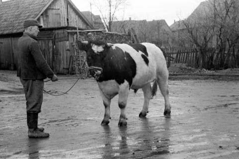 ARH NL Dierssen 1006/0002, Zuchtbulle (Landwirt Woltmann), 1950