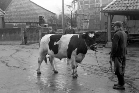 ARH NL Dierssen 1006/0003, Zuchtbulle (Landwirt Woltmann), 1950