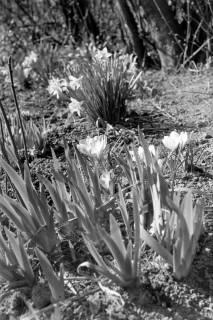 ARH NL Dierssen 1013/0004, Frühlingsblumen im Garten von Pastor Ziete, 1950