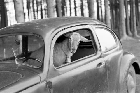 ARH NL Dierssen 1016/0019, Abrichteanstalt - Ziegenbock im Auto, 1950