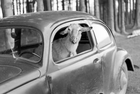 ARH NL Dierssen 1016/0020, Abrichteanstalt - Ziegenbock im Auto, 1950