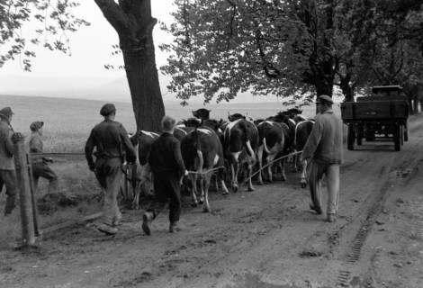 ARH NL Dierssen 1022/0011, Viehauftrieb in der Kaiserallee, 1950