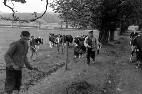 ARH NL Dierssen 1022/0012, Viehauftrieb in der Kaiserallee, 1950