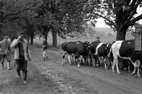 ARH NL Dierssen 1022/0013, Viehauftrieb in der Kaiserallee, 1950