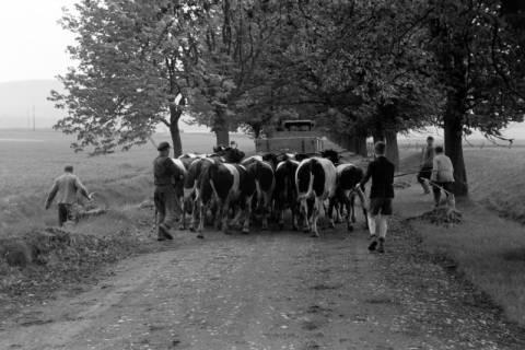 ARH NL Dierssen 1022/0014, Viehauftrieb in der Kaiserallee, 1950