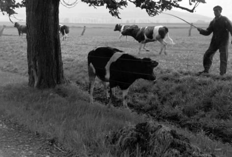 ARH NL Dierssen 1022/0015, Viehauftrieb in der Kaiserallee, 1950