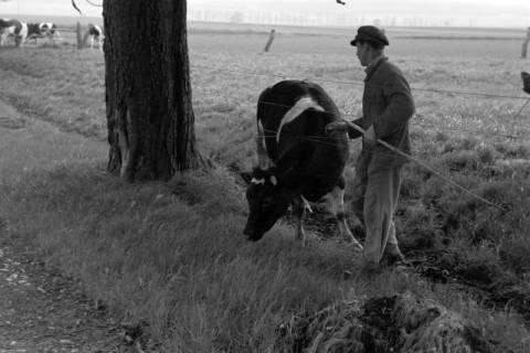 ARH NL Dierssen 1022/0016, Viehauftrieb in der Kaiserallee, 1950