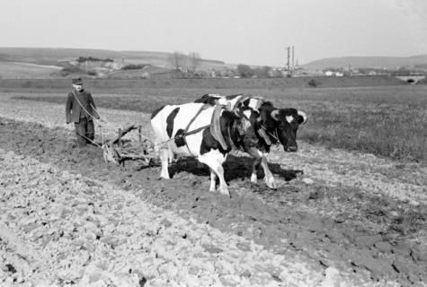ARH NL Dierssen 1022/0024, Bauer Henk mit Ochsengespann, 1950