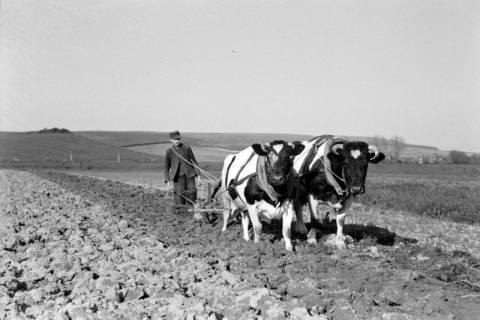 ARH NL Dierssen 1023/0001, Bauer Henk mit Ochsengespann, 1950