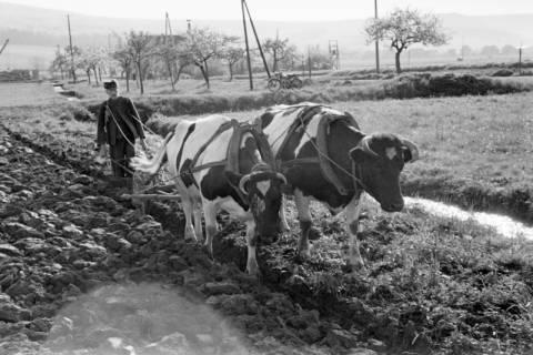 ARH NL Dierssen 1023/0004, Bauer Henk mit Ochsengespann, 1950