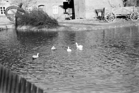 ARH NL Dierssen 1023/0011, Dorfteich mit Enten, 1950