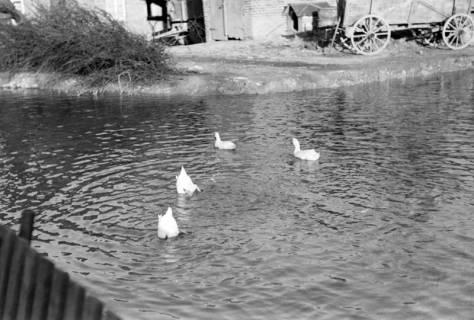 ARH NL Dierssen 1023/0012, Dorfteich mit Enten, 1950