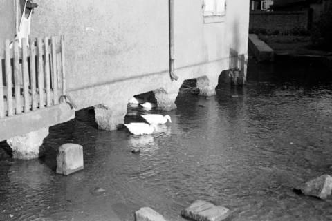 ARH NL Dierssen 1023/0014, Dorfteich mit Enten, 1950