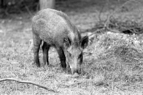 ARH NL Dierssen 1024/0017, Wildschweine im Saupark, 1950