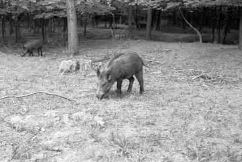 ARH NL Dierssen 1024/0018, Wildschweine im Saupark, 1950