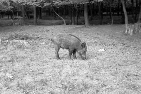 ARH NL Dierssen 1024/0019, Wildschweine im Saupark, 1950