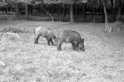 ARH NL Dierssen 1024/0020, Wildschweine im Saupark, 1950