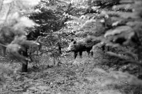 ARH NL Dierssen 1024/0021, Wildschweine im Saupark, 1950