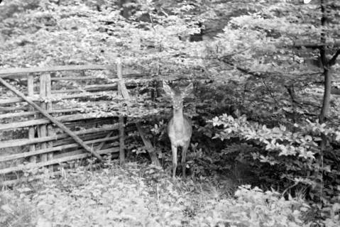 ARH NL Dierssen 1028/0018, Reh im Saupark, 1950