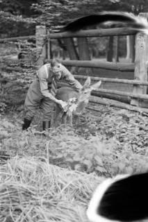 ARH NL Dierssen 1028/0021, Reh im Saupark, 1950