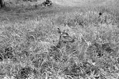 """ARH NL Dierssen 1031/0014, Damenhirschkuh """"Diana"""", Springe, 1950"""