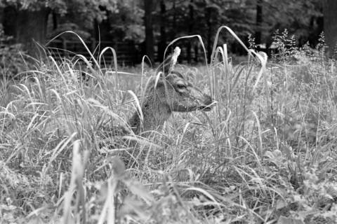 """ARH NL Dierssen 1031/0015, Damenhirschkuh """"Diana"""", Springe, 1950"""