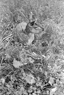 """ARH NL Dierssen 1031/0016, Damenhirschkuh """"Diana"""", Springe, 1950"""