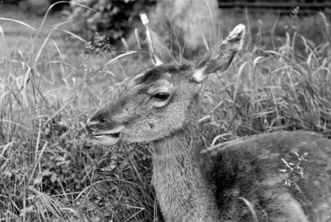 """ARH NL Dierssen 1031/0018, Damenhirschkuh """"Diana"""", Springe, 1950"""