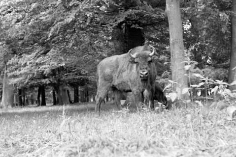 """ARH NL Dierssen 1031/0021, Wisentkuh """"Spitze"""" mit Kalb """"Spritflasche"""", Springe, 1950"""