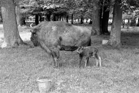 """ARH NL Dierssen 1031/0023, Wisentkuh """"Spitze"""" mit Kalb """"Spritflasche"""", Springe, 1950"""