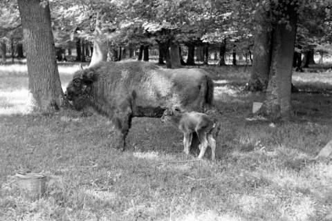 """ARH NL Dierssen 1031/0025, Wisentkuh """"Spitze"""" mit Kalb """"Spritflasche"""", Springe, 1950"""