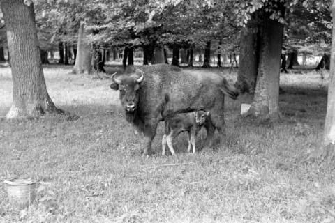 """ARH NL Dierssen 1031/0026, Wisentkuh """"Spitze"""" mit Kalb """"Spritflasche"""", Springe, 1950"""