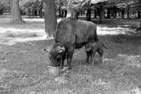 """ARH NL Dierssen 1031/0028, Wisentkuh """"Spitze"""" mit Kalb """"Spritflasche"""", Springe, 1950"""