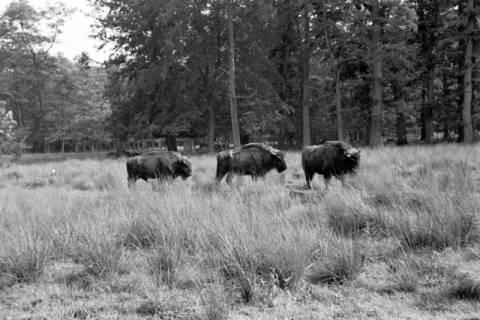 ARH NL Dierssen 1032/0006, Wisente, Springe, 1950