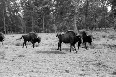 ARH NL Dierssen 1032/0007, Wisente, Springe, 1950