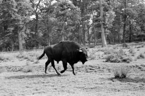ARH NL Dierssen 1032/0008, Wisent, Springe, 1950