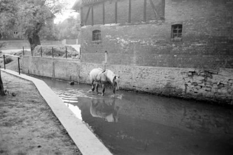 ARH NL Dierssen 1036/0022, Pferde im Rössingbach (gen. Beeke) unterhalb des Wehrs der Mühle, Rössing, 1950