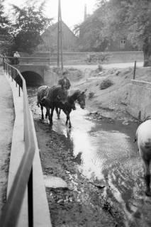 ARH NL Dierssen 1036/0025, Ackerpferde werden im Kolk unterhalb des Weges der Mühle gesäubert, Rössing, 1950