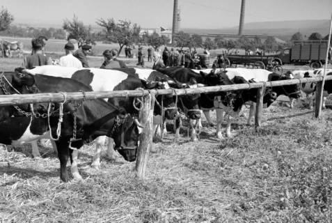 ARH NL Dierssen 1049/0009, Viehmarkt auf dem Reitturnier, Springe, 1950