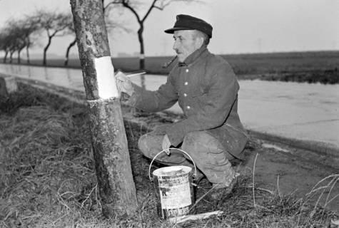 ARH NL Dierssen 1092/0016, Straßenwärter streicht Chausseebäume, Lehrte, 1950