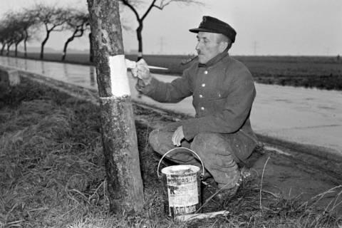 ARH NL Dierssen 1092/0017, Straßenwärter streicht Chausseebäume, Lehrte, 1950