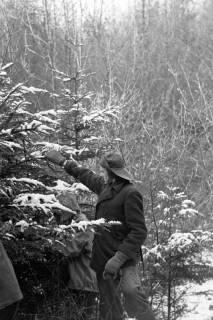 ARH NL Dierssen 1163/0006, Weihnachtsbaumernte, Springe, 1951