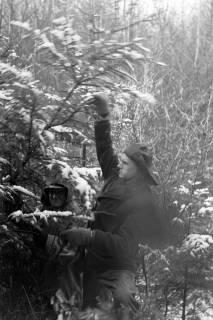 ARH NL Dierssen 1163/0007, Weihnachtsbaumernte, Springe, 1951