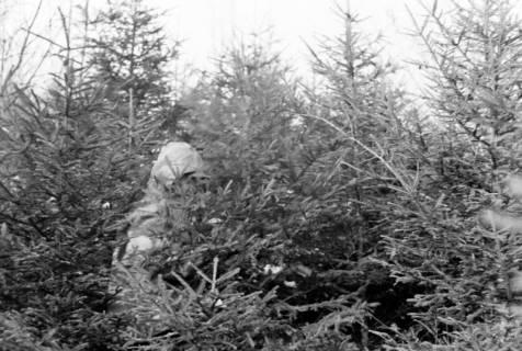 ARH NL Dierssen 1163/0008, Weihnachtsbaumernte, Springe, 1951