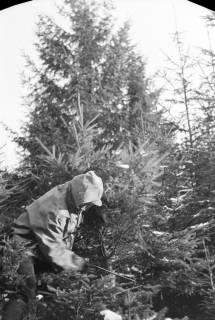 ARH NL Dierssen 1163/0009, Weihnachtsbaumernte, Springe, 1951