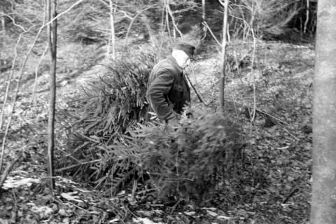ARH NL Dierssen 1163/0011, Weihnachtsbaumernte, Springe, 1951