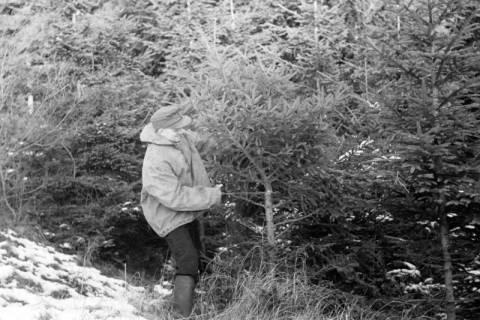 ARH NL Dierssen 1163/0012, Weihnachtsbaumernte, Springe, 1951