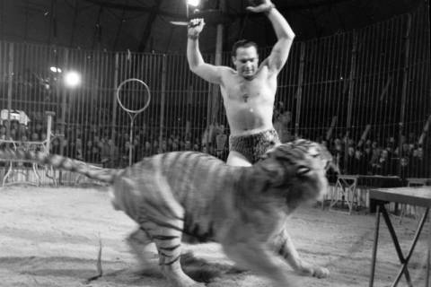 """ARH NL Dierssen 1178/0008, """"Tarzan mit Tiger"""" im Cirkus Busch aus Berlin, Seesen, 1952"""